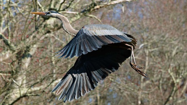 great blue heron flying through the trees