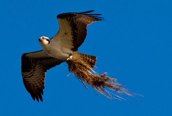 Osprey carrying grass