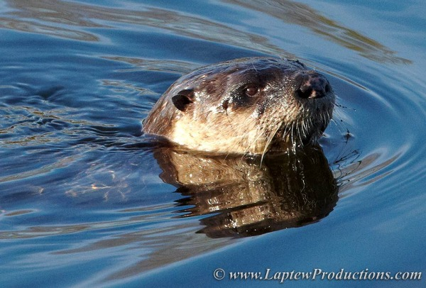 North Kingstown otter in Annaquatucket River