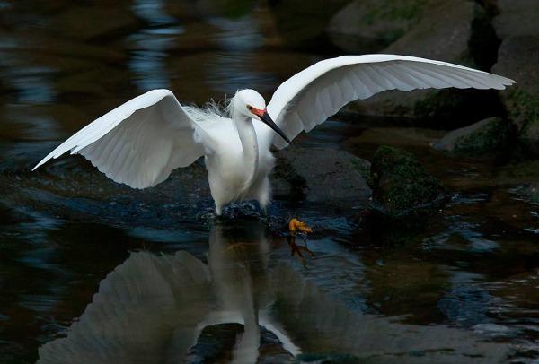 egret charges mummichog