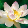 http://www.laptewproductions.com/videos/wp-content/uploads/2012/04/Lotus-Blossom.jpg