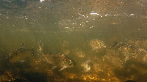Alewives Charging Upriver