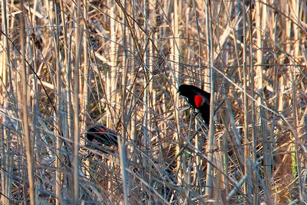 redwing in marsh