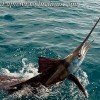 http://www.laptewproductions.com/videos/wp-content/uploads/2012/04/sailfish.jpg