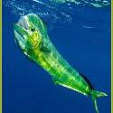 Mahi Mahi/Dolphin/Dorado