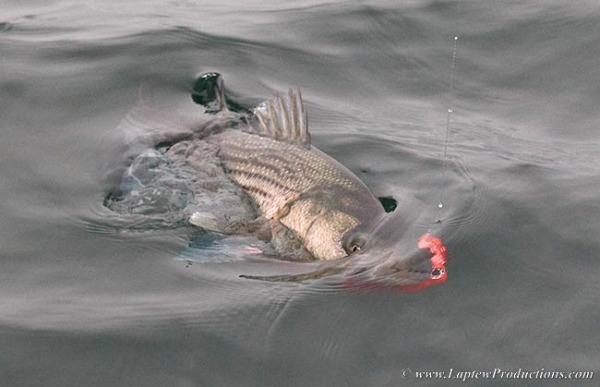 Striper with squid fly