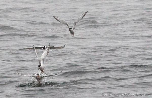Common terns feeding