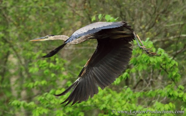 Great Blue Heron Flaps its Massive Wings