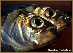 Head shot of herring focused on their large eyes