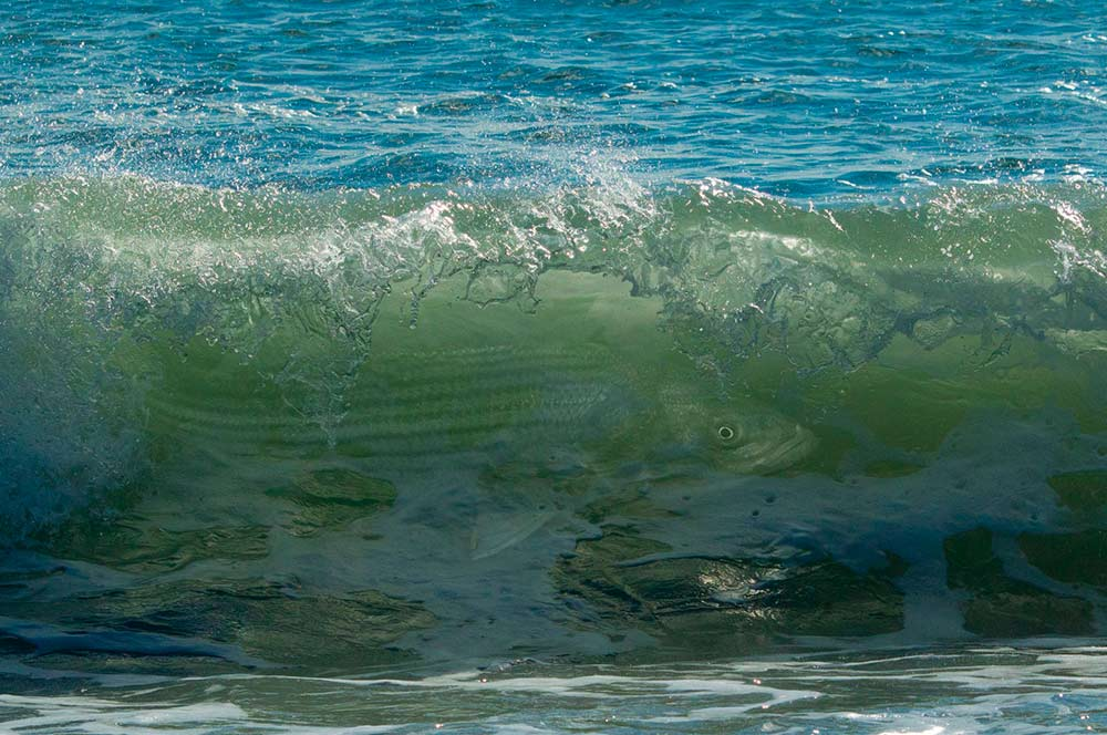 striped bass lurking in the waves