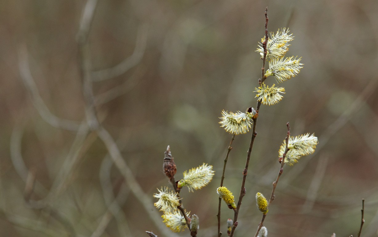 Pussy Willow Buds