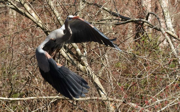 great blue heron flies through the brush