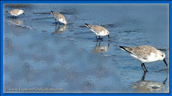 Sandpiper pulls out a worm