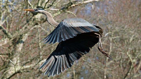 A great blue heron flys through the trees