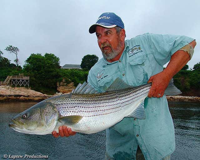 Captain Jim White with a nice striped bass about to be released