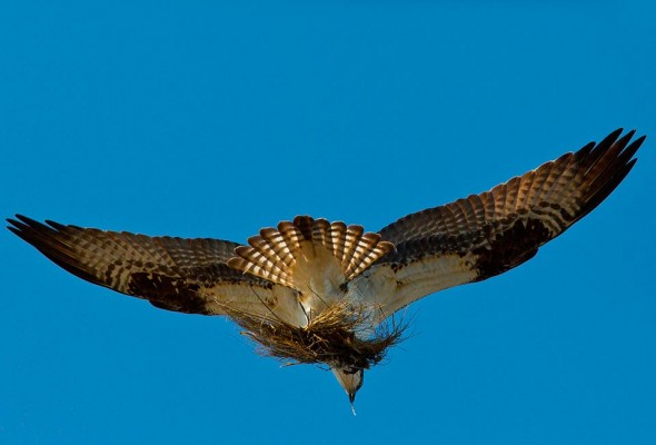 An osprey carries a load of nesting material