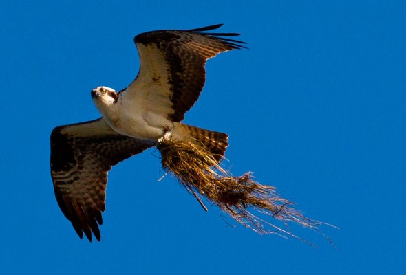 An osprey bringing marsh grass to nest