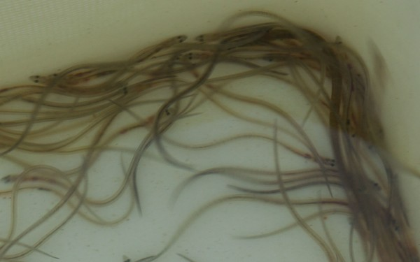 glass eels