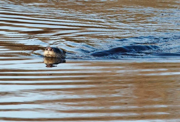 otter swims along surface of the pond