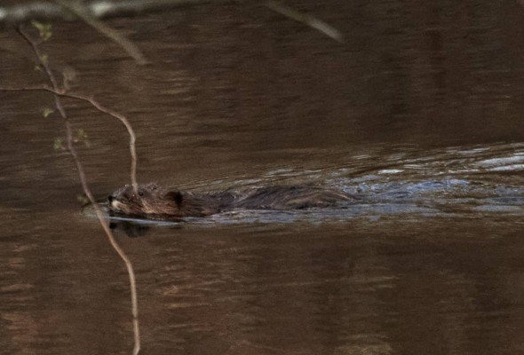 muskrat swimming to shore