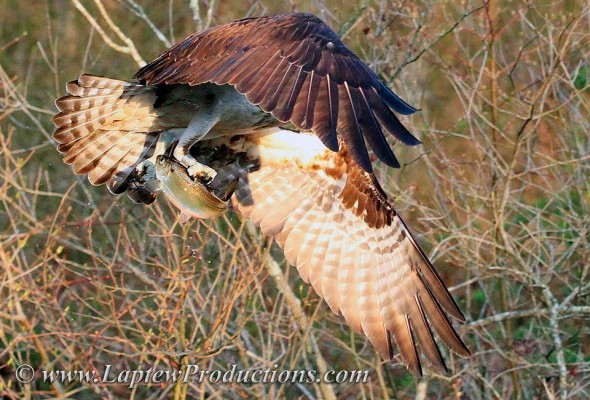 An osprey hold a herring in its talons