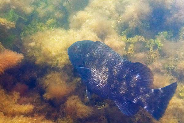 Tautog or Blackfish next to a rocky reef in Narragansett Bay
