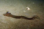 eel in brackish pond