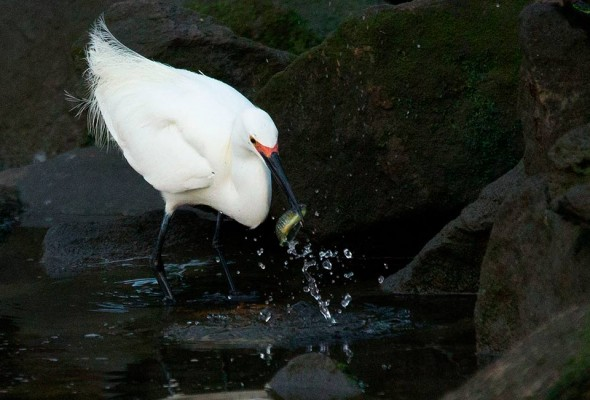 egret strikes at mummichog