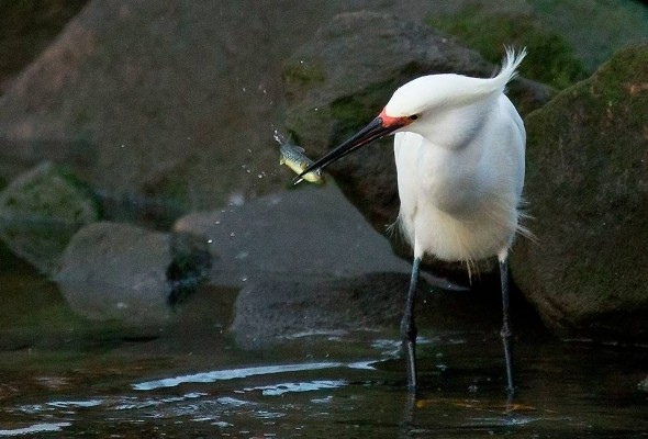snowy egret squeezes a mummichog with its powerful bill