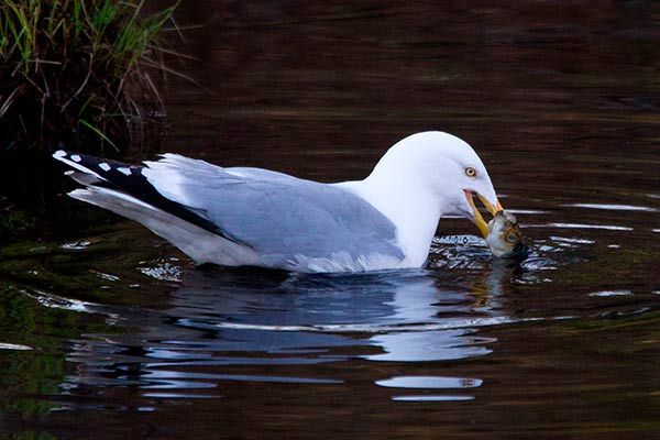 herring gull grabs an alewife