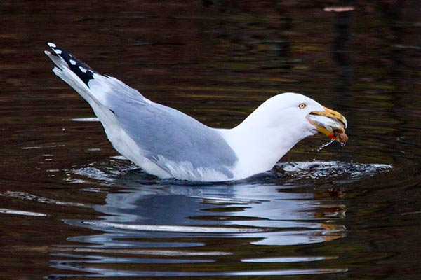 herring gull swallows an alewife in one gulp