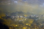 River herring stack up in a shallow pool