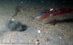 squid eating blueback herring