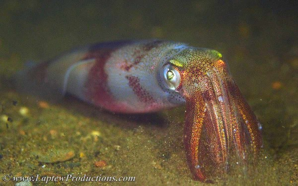 profile picture of a longfin squid