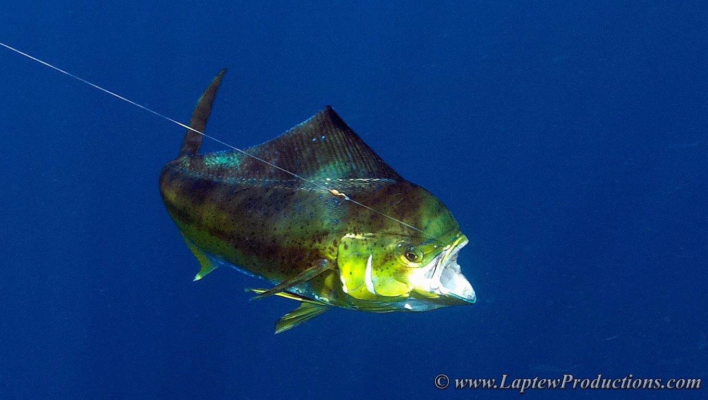 Pics For > Mahi Mahi Underwater