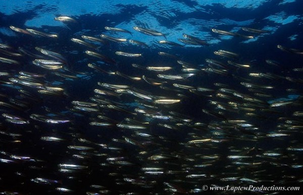 Silversides packed together in a large school