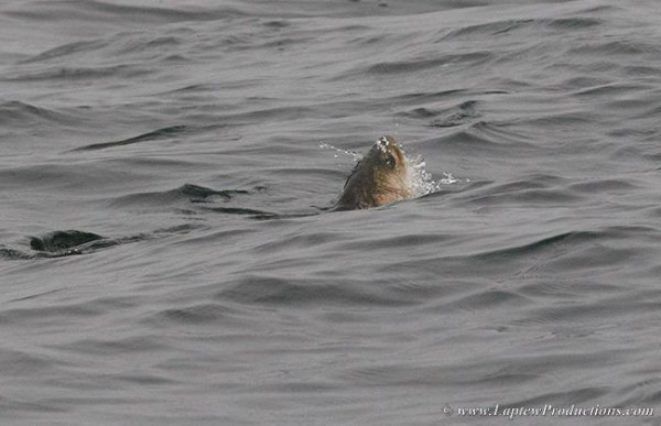 A striper clears the surface of the water as it gulps down a silverside