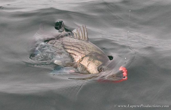 striped bass with squid fly in its mouth