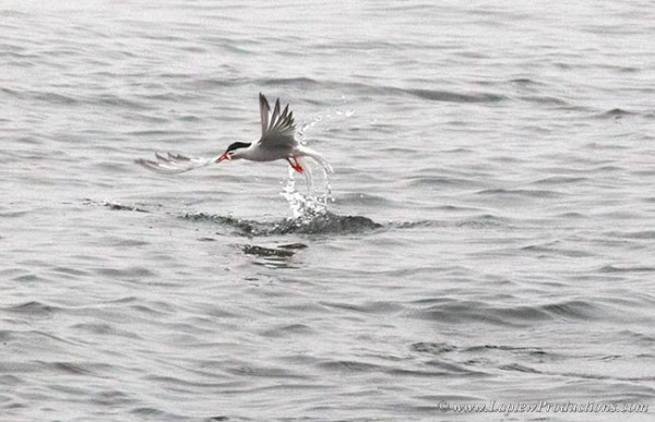 A tern flies off with a spearing