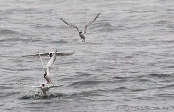 Common terns hoovering over schooling baitfish